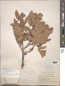 view Quercus intricata Trel. digital asset number 1