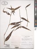 view Commelina kurzii C.B. Clarke digital asset number 1