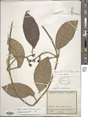 view Matelea viridis (Moldenke) Spellman digital asset number 1