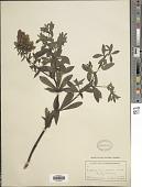 view Baptisia leucophaea Nutt. digital asset number 1