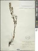 view Micromeria biflora (Buch.-Ham. ex D. Don) Benth. digital asset number 1