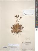 view Paepalanthus ensifolius (Kunth) Kunth digital asset number 1