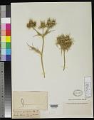 view Eryngium amethystinoides Kuntze digital asset number 1