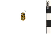 view Spotted Cucumber Beetle digital asset number 1