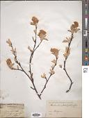 view Amelanchier rotundifolia Dum. Cours. digital asset number 1