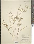view Chaerophyllum procumbens digital asset number 1