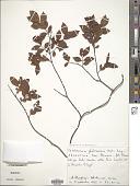 view Forsteronia glabrescens Müll. Arg. digital asset number 1