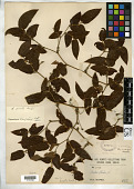 view Smilax glaucochina Warb. in Diels digital asset number 1