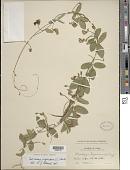 view Centrosema virginianum (L.) Benth. digital asset number 1