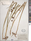 view Juncus xiphioides E. Mey. digital asset number 1