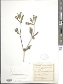 view Acanthospermum hispidum DC. digital asset number 1