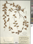 view Sphyrospermum majus Griseb. digital asset number 1