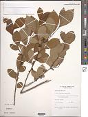 view Lindera benzoin (L.) Blume digital asset number 1