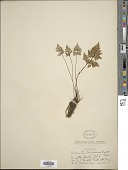view Aspidotis californica (Hook.) Nutt. ex Copel. digital asset number 1