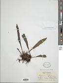 view Polytaenium dussianum (Benedict) Benedict digital asset number 1