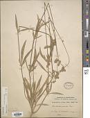 view Froelichia gracilis (Hook.) Moq. digital asset number 1
