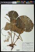 view Begonia itaguassuensis Brade digital asset number 1
