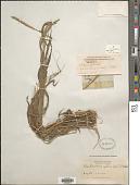 view Setaria setosa (Sw.) P. Beauv. digital asset number 1