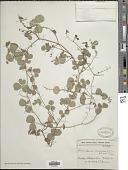 view Rhynchosia minima (L.) DC. digital asset number 1