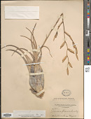 view Tillandsia flexuosa Sw. digital asset number 1