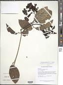view Tanaecium pyramidatum (Rich.) L.G. Lohmann digital asset number 1