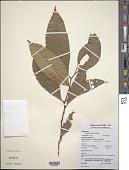 view Heisteria densifrons Engl. digital asset number 1