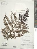 view Dryopteris pulvinulifera (Bedd.) Kuntze digital asset number 1