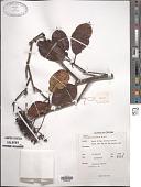 view Photinia notoniana Wight & Arn. digital asset number 1