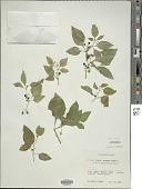 view Solanum nigrum L. digital asset number 1