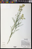 view Astragalus filipes A. Gray digital asset number 1