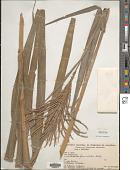 view Paspalum fasciculatum Willd. ex Flüggé digital asset number 1