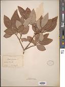 view Salix caprea L. digital asset number 1