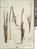 view Sisyrinchium xerophyllum Greene digital asset number 1