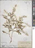 view Rorippa palustris (L.) Besser digital asset number 1