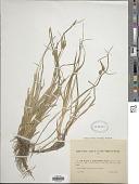 view Carex punctata Gaudin digital asset number 1