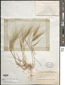 view Taeniatherum caput-medusae var. crinitum (Schreb.) Humphries digital asset number 1