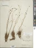 view Bulbostylis conifera (Kunth) C.B. Clarke digital asset number 1
