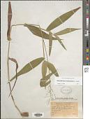 view Dichanthelium clandestinum (L.) Gould digital asset number 1