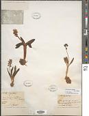 view Hyacinthoides lingulata (Poir.) Rothm. digital asset number 1