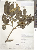 view Handroanthus arianeae (A.H. Gentry) S.O. Grose digital asset number 1