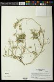 view Adesmia littoralis Burkart digital asset number 1