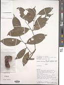 view Uvariopsis globiflora Keay digital asset number 1