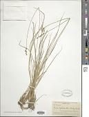 view Carex echinata Murray subsp. echinata digital asset number 1