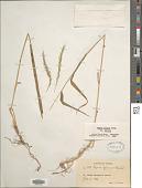 view Elymus glaucus Buckley subsp. glaucus digital asset number 1