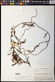 view Cladomyza dubia Stauffer digital asset number 1