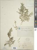 view Selaginella molliceps Spring digital asset number 1