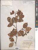 view Sorbus alnifolia digital asset number 1