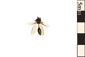view Aphid Wasp digital asset number 1