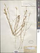 view Dianthus crinitus subsp. turcomanicus (Schischk.) Rech. f. digital asset number 1