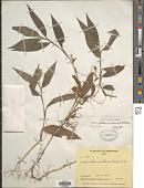view Ichnanthus pallens (Sw.) Munro ex Benth. digital asset number 1